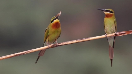 Blue tailed Bee eater feeding