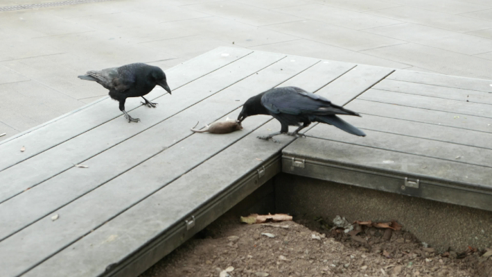 Crows fighting for a dead mouse on a bench
