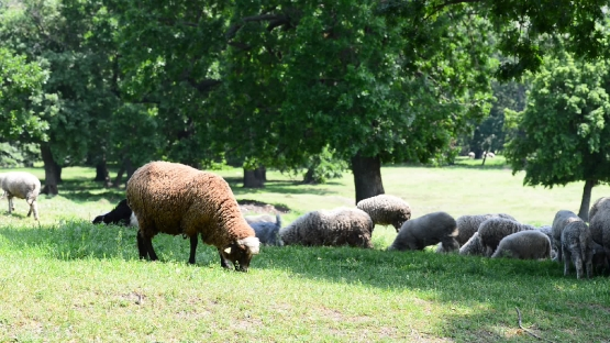 Herd sheep and a black sheep in a meadow