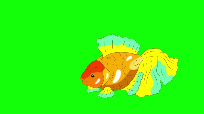 Multicolored Goldfish Floating in Aquarium Chroma Key