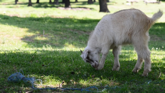 White Little Goat Grazing in the Field. the Action in Real Time