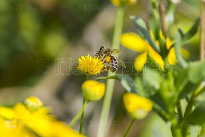 A bee on yellow flower
