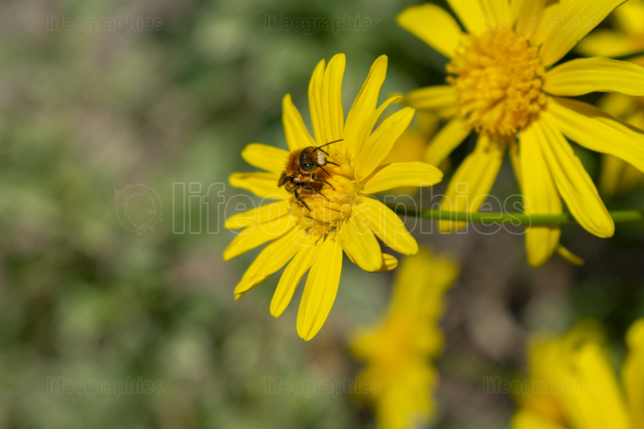 A bee resting on a yellow daisy on sunny spring day