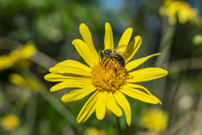 A bee with its legs full of pollen resting on a yellow daisy