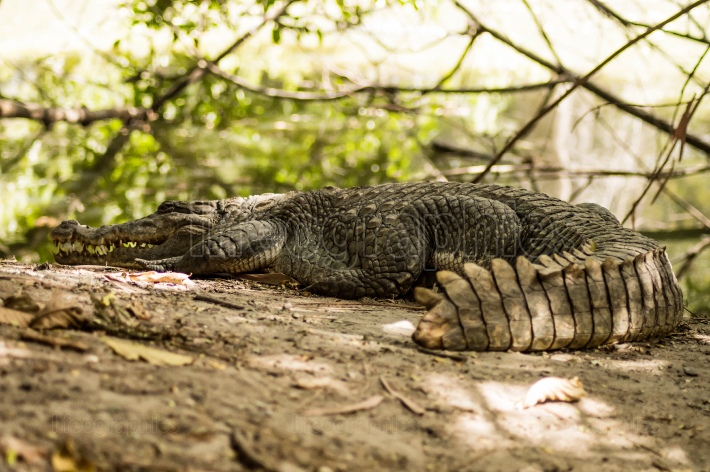 A crocodile basks in the heat of Gambia,