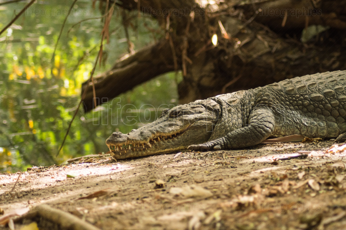 A crocodile basks in the heat of Gambia