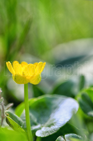 A Fig Buttercup Blooming In Spring