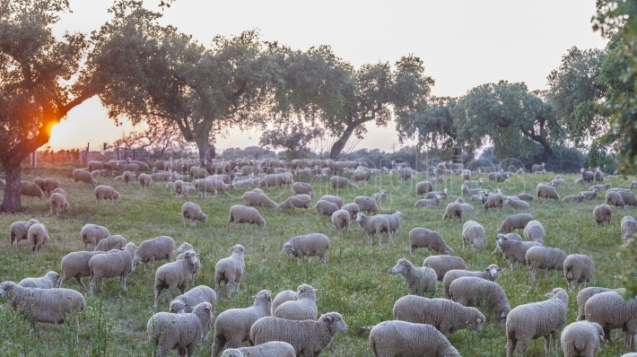 A flock of merina sheep grazing at sunset