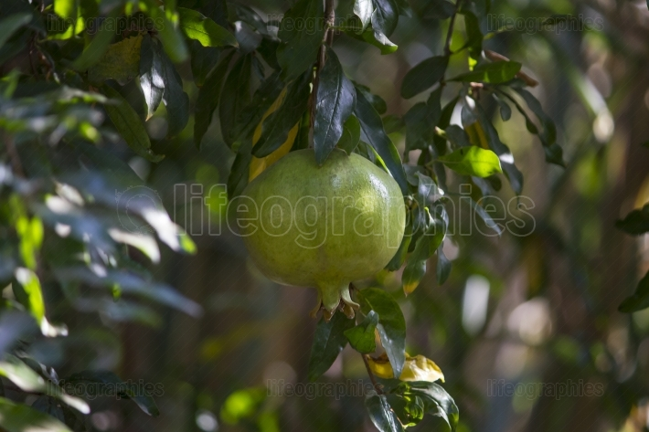 A growing green pomegranate fruit