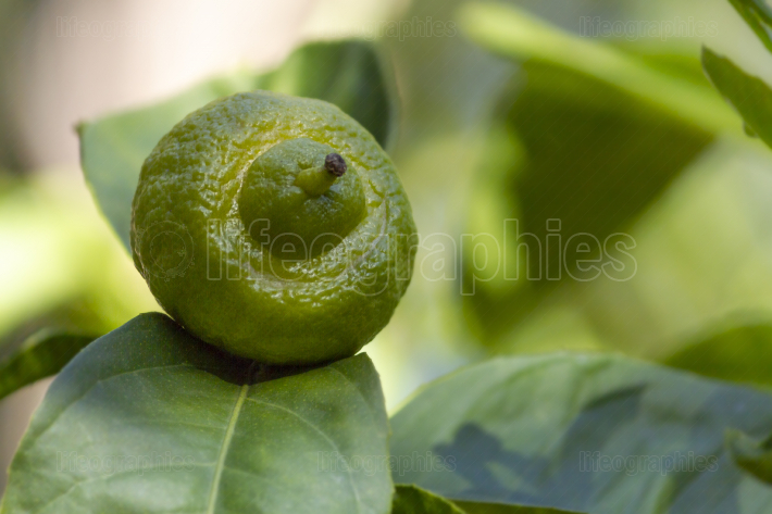 A growing lemon on the tree