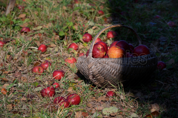 A Large Basket Full Of Red Apples