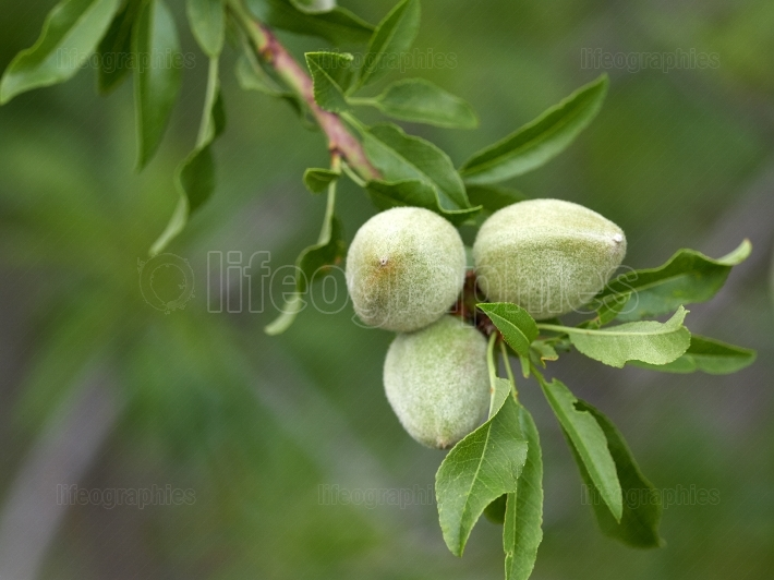 Almonds tree branch with unripe fruits