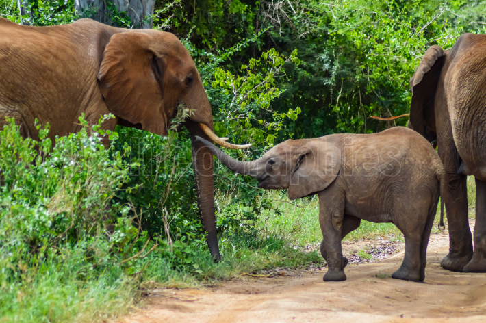 An elephant and his little  One in a walk