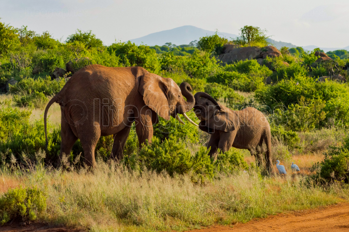 An elephant and his little  One in a walk in the savanna