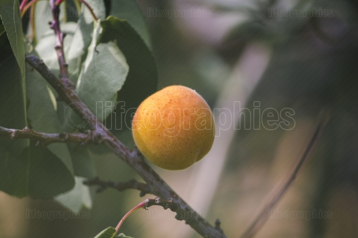 Apricot fruit on the tree