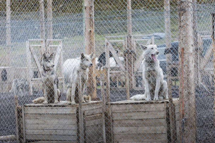 Arctic sled dogs in their kennel, North pole, Svalbard