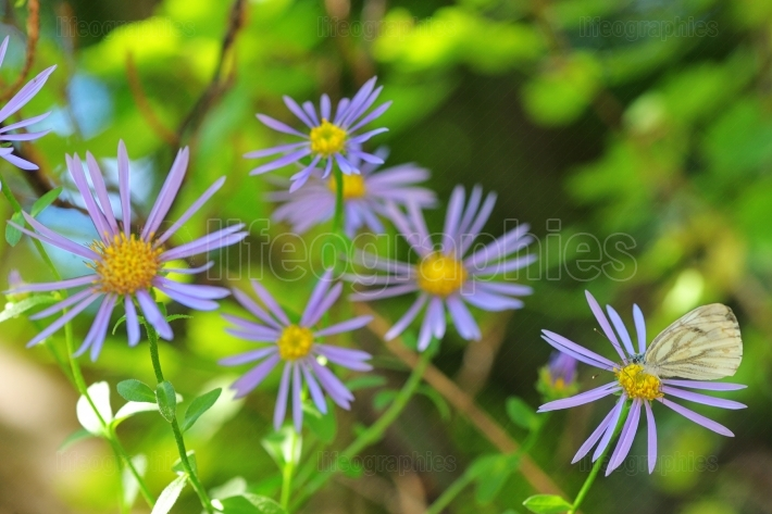 Aster hispidus flowers and butterfly