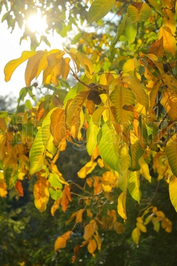 Autumn branch of walnut leaves