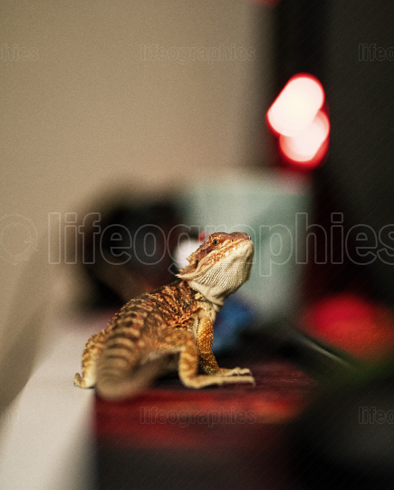 Baby bearded dragon on my desk