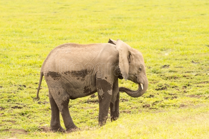 Baby elephant coming out of the marsh in the savannah of Ambosel