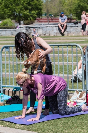 Baby Goat Balances On Back Of Woman In Yoga Class