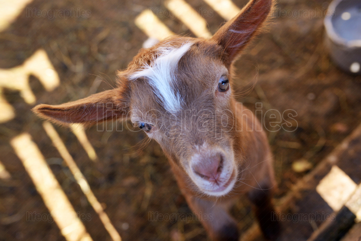 Baby goat in paddock