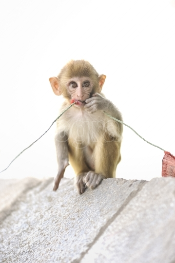 Baby monkey playing with a rope