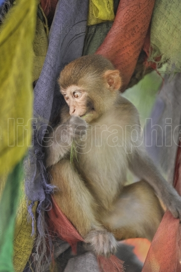 Baby monkey surrounded by tibetan praying flags