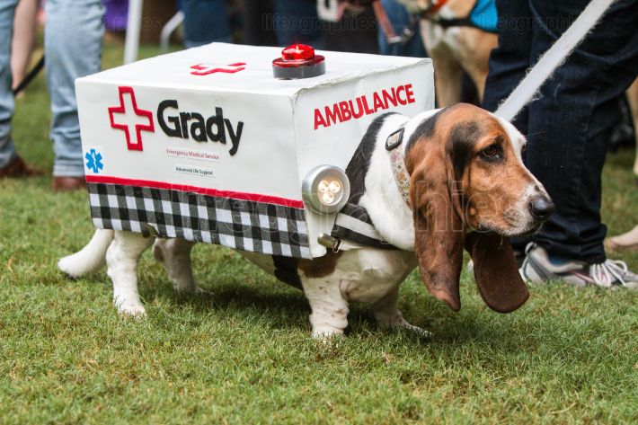 Basset Hound Wears Ambulance Costume At Atlanta Doggy Con Event