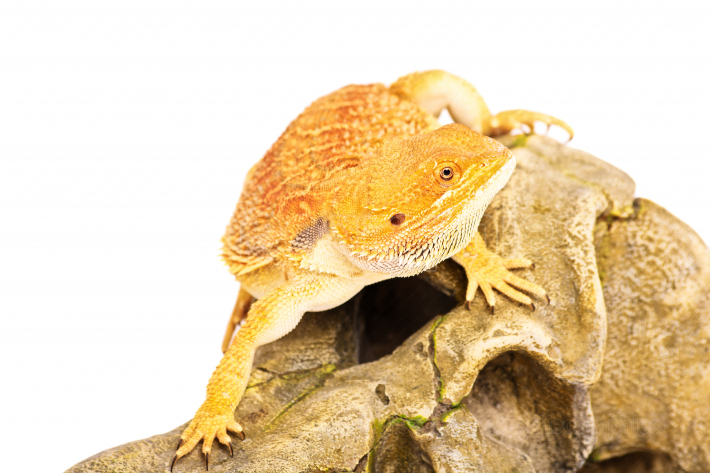 Bearded dragon in movement
