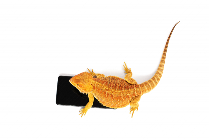 Bearded dragon on a smartphone