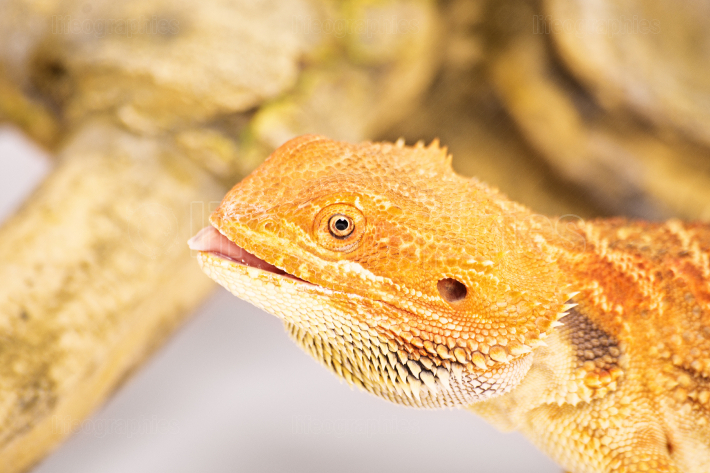 Bearded dragon with tongue out