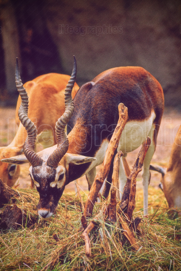 Beautiful blackbuck eating grass