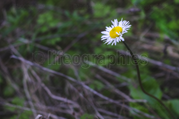 Beautiful Daisy flower with colorful dark background