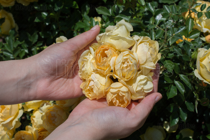 Beautiful fresh roses in hand