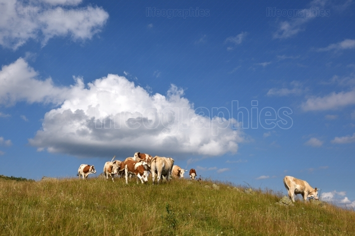 Beautiful rural landscape with vast green field and a herd of co