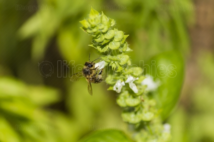 Bee collects white pollen and nectar