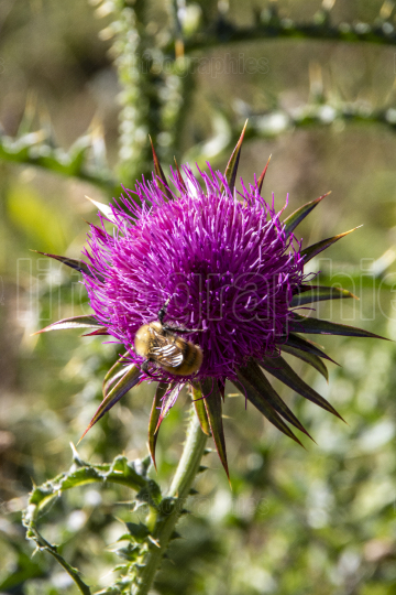 Bee on a pink thistle
