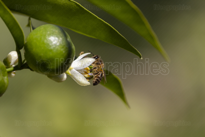 Bee on the flower of a tangerine tree