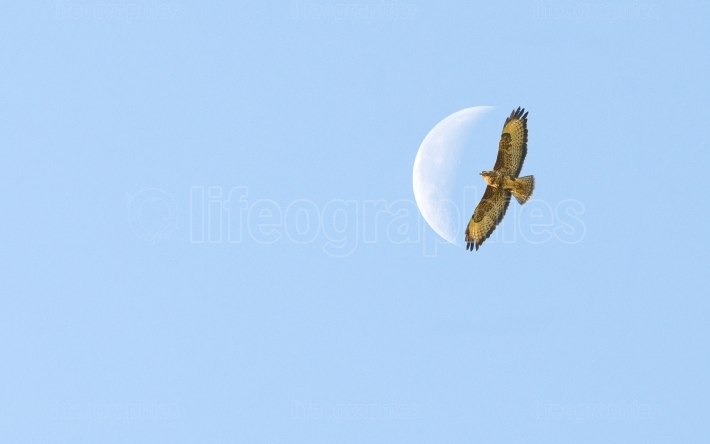 Bird of prey flying to the moon