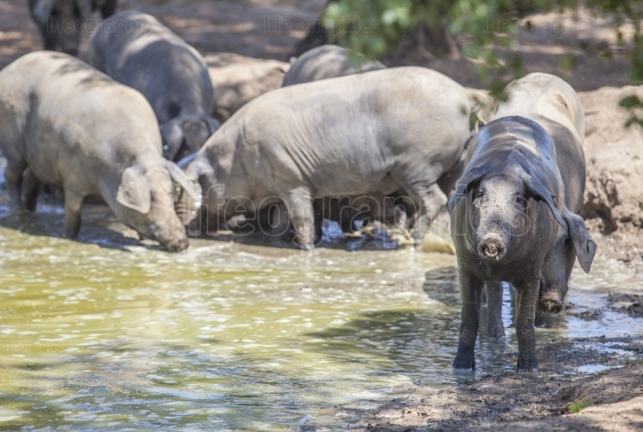 Black iberian pigs enjoying the pond, Extremadura, Spain