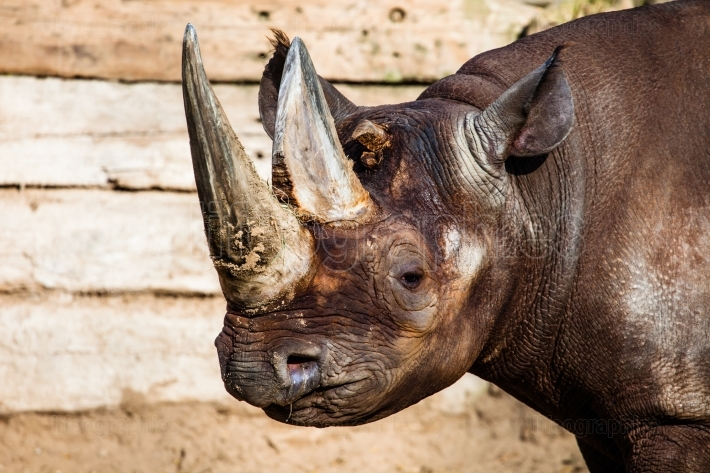 Black rhino head over blurred background
