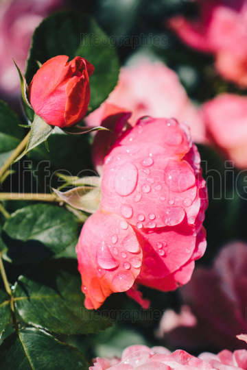 Blooming beautiful colorful fresh rose with dew on petals