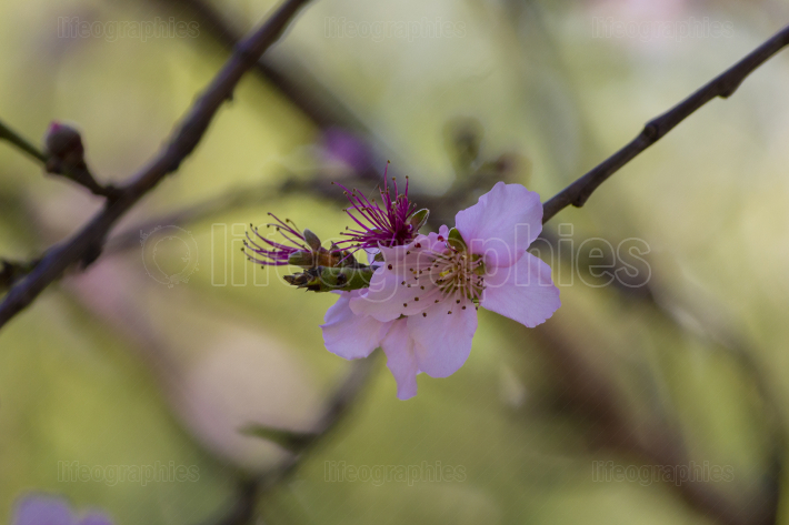 Blooming nectarine flowers