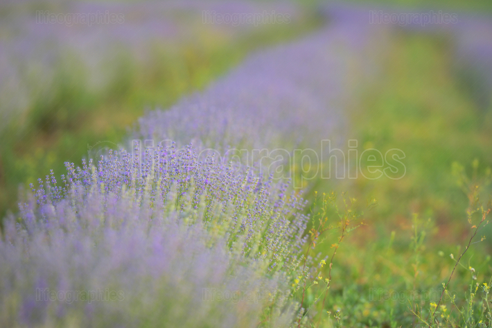 Blossoming Of Lavander Flowers