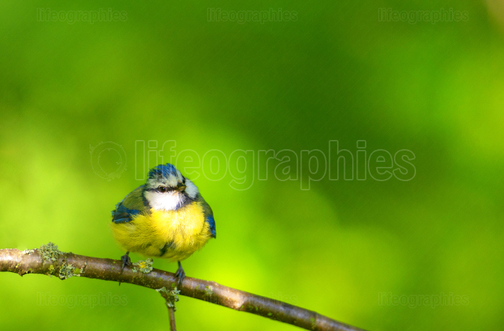 Blue little tit sitting on a branch
