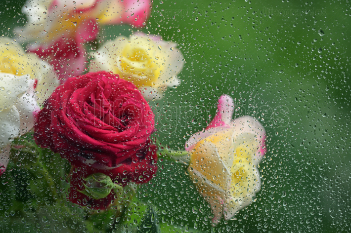Bouquet of roses on the window with raindrop