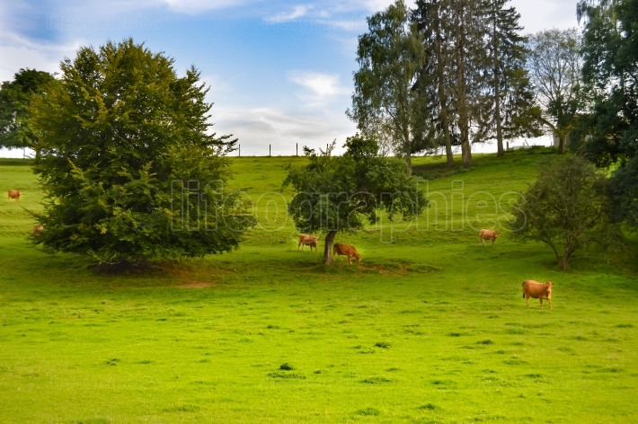 Brown cow in a meadow