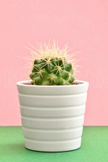Cactus plants on pink paper background