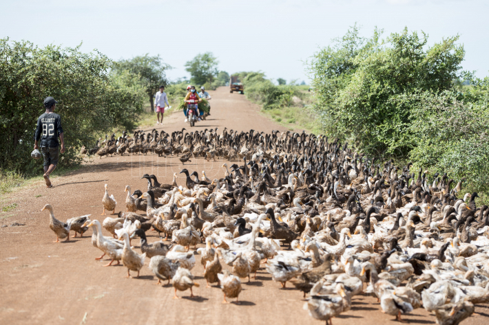 CAMBODIA KAMPONG THOM AGRICULTURE DUCK FARM